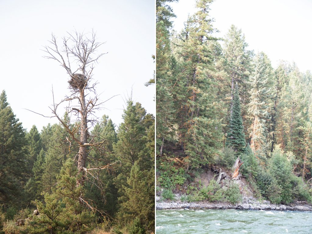 eagle nest atop bare tree