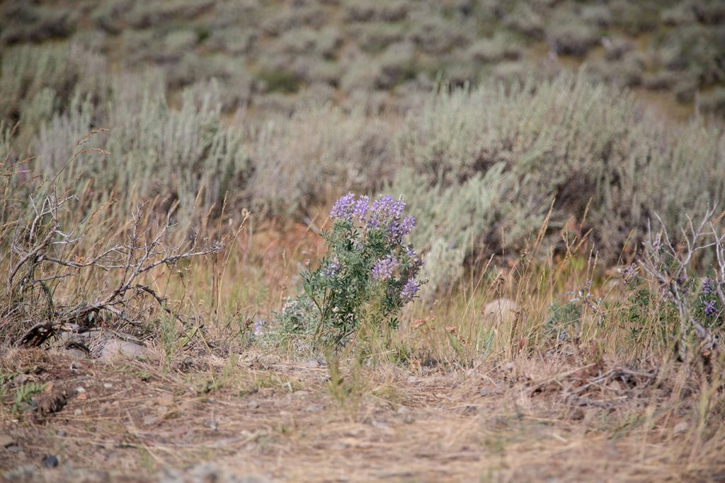 Wyoming wild flowers