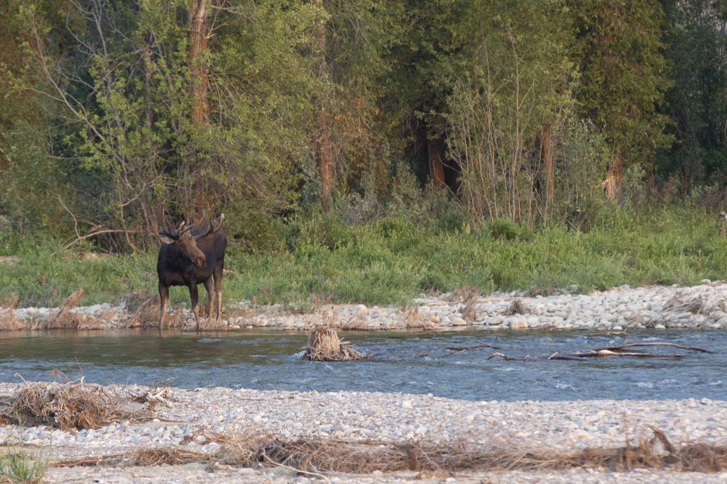 bull moose by river