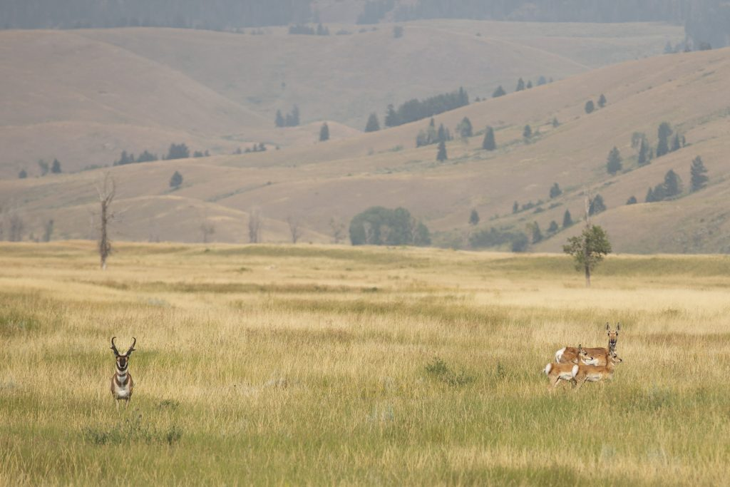 pronghorns in open prairie