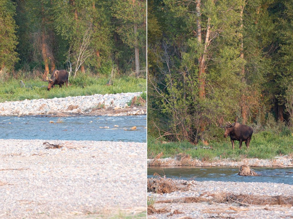 moose by river