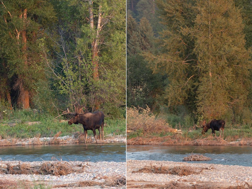 moose drinking from river