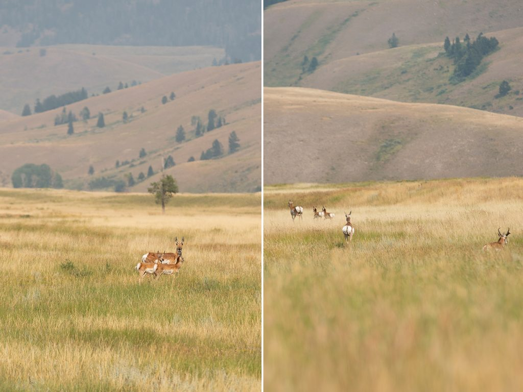 pronghorns in open field