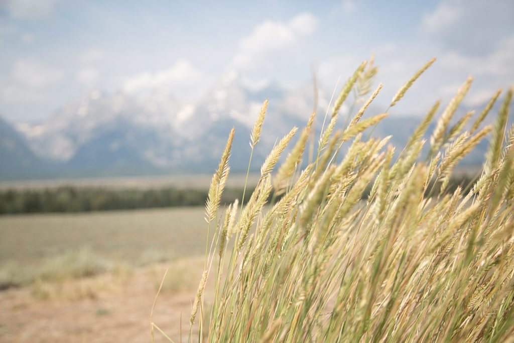 wheat blowing in the wind with the Tetons behind