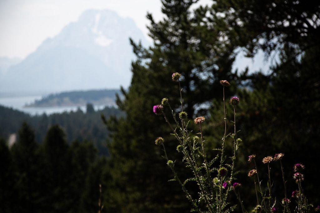 wild thistle with mountain and lake in background
